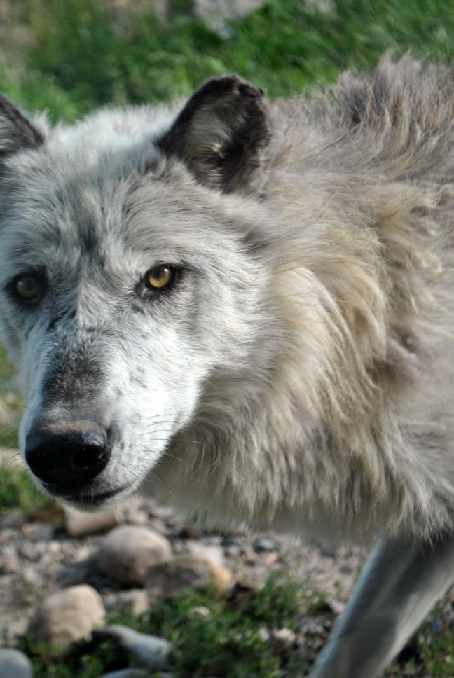 wolf_by_cyla-d5yep2z