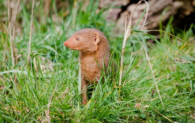 Dwarf Mongoose I
